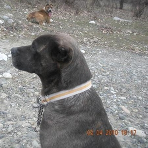 Продам собаку сука 5 лет, очень хорошо подходит для охраны