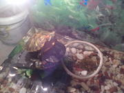 продам водяных черепашек